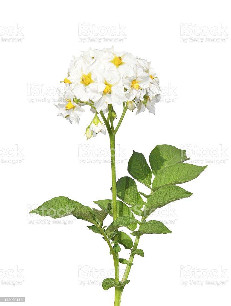 Potato flower royalty-free stock photo