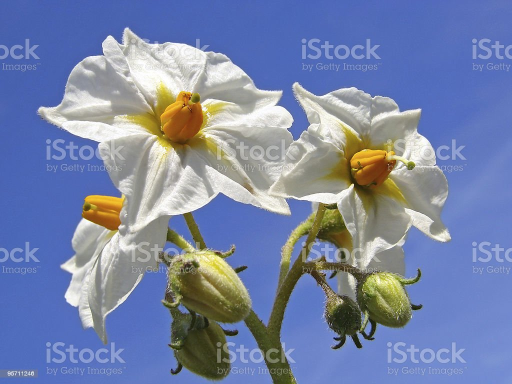 potato flowers royalty-free stock photo