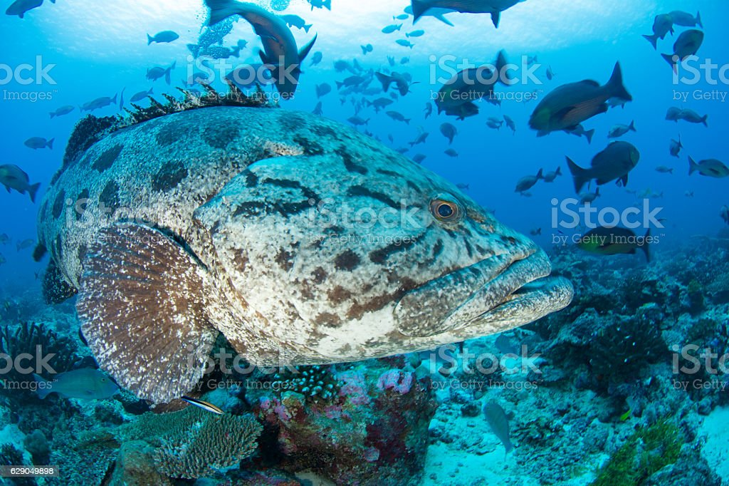 potato grouper closeup stock photo
