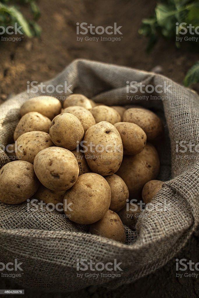 potato harvest in bag stock photo