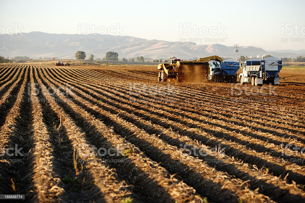 Potato harvest stock photo