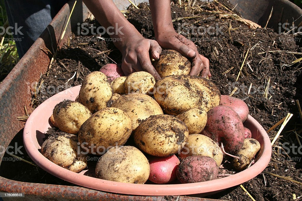 Potato Harvest royalty-free stock photo