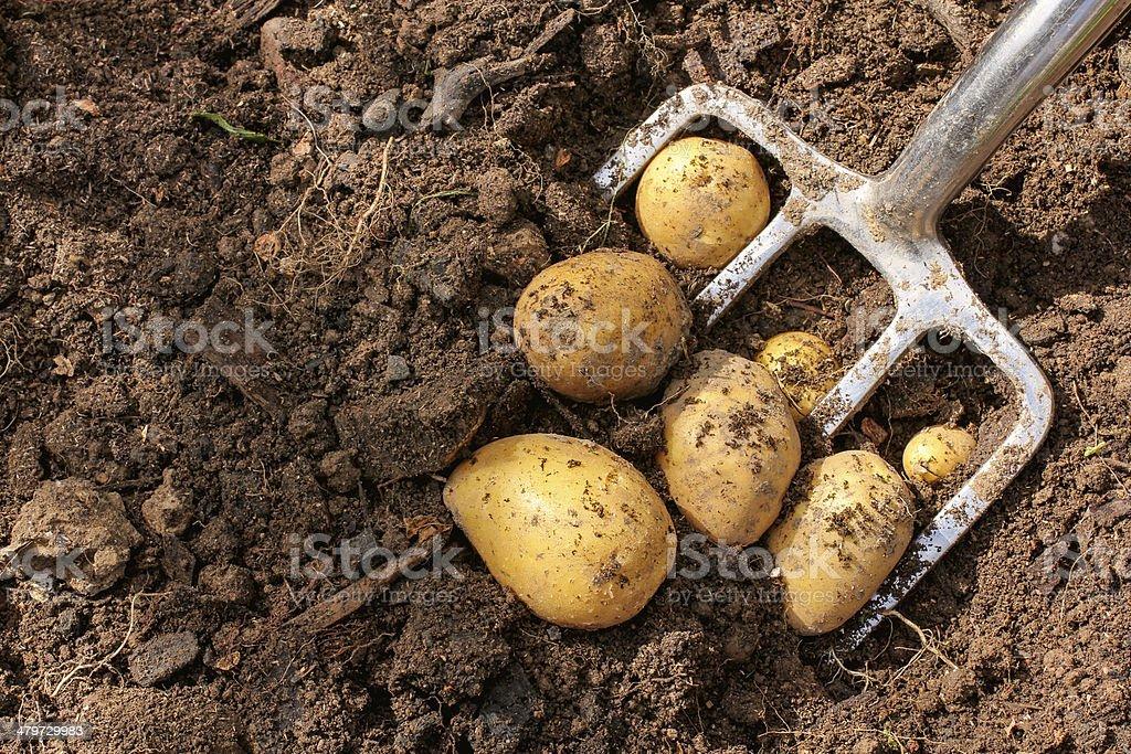 Potato harvest with bar spade stock photo