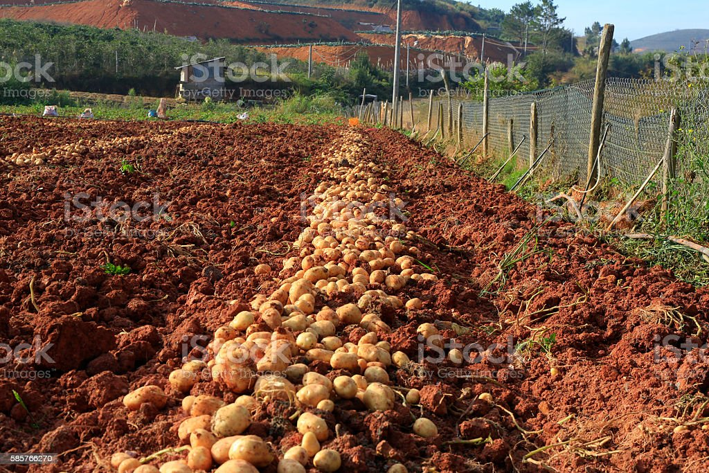 Potato harvesting in field with old tractor short stock photo