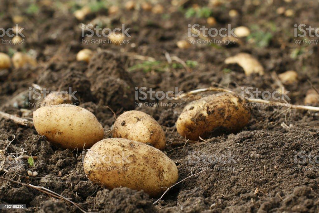 Potato in field stock photo