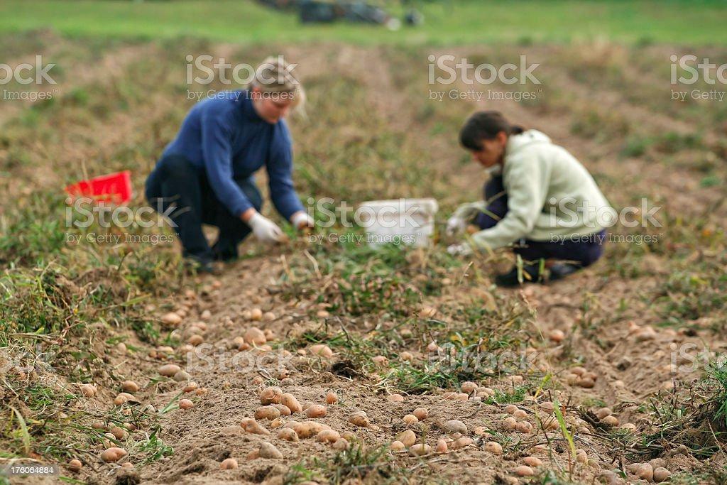 Potato in village field royalty-free stock photo