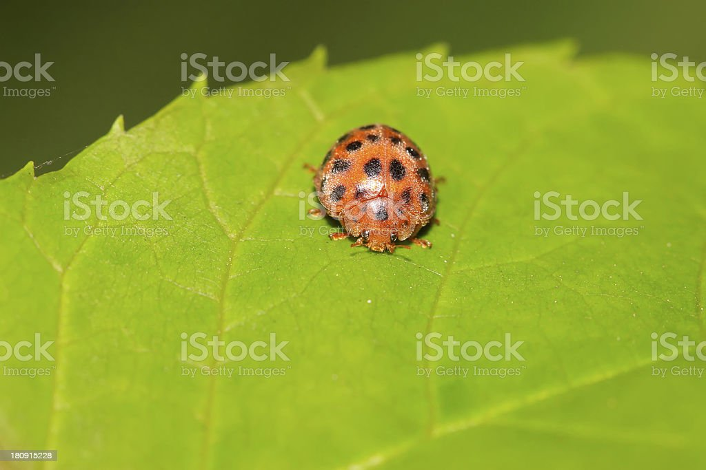 potato ladybird royalty-free stock photo