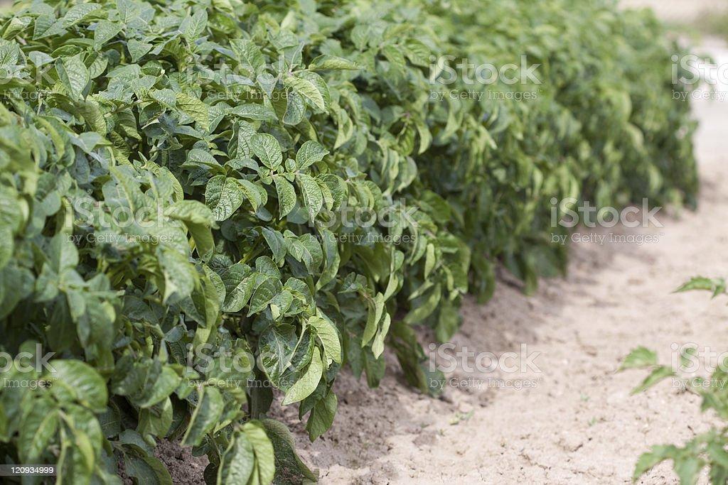 Potato Plant Garden or Field royalty-free stock photo