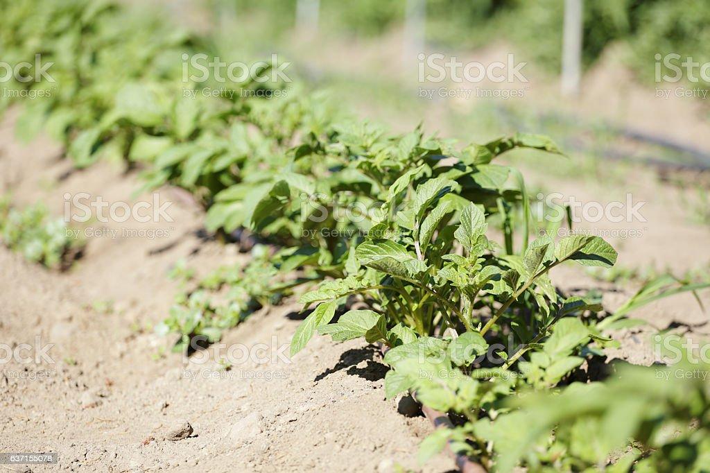 Potato plant growing in a farm stock photo