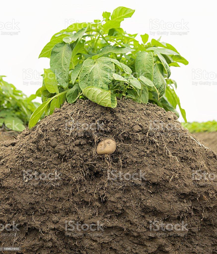 Potato Plant Growth in Soil stock photo