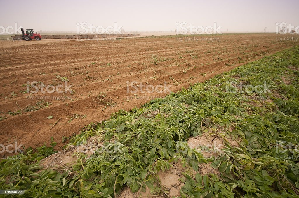 Potato plant in the Negev, Israel stock photo