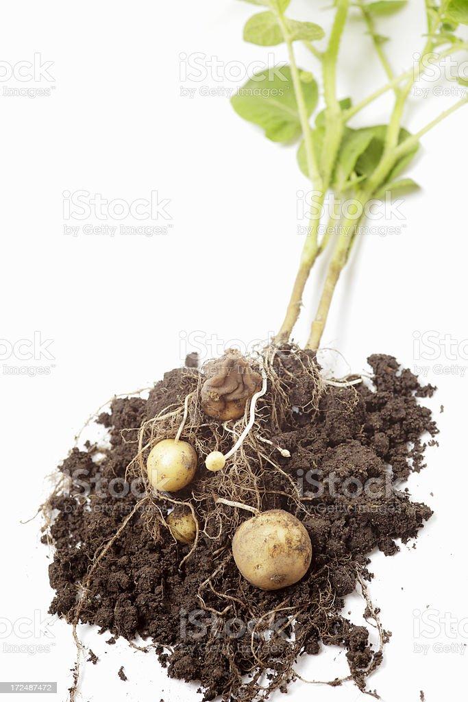Potato Plant royalty-free stock photo