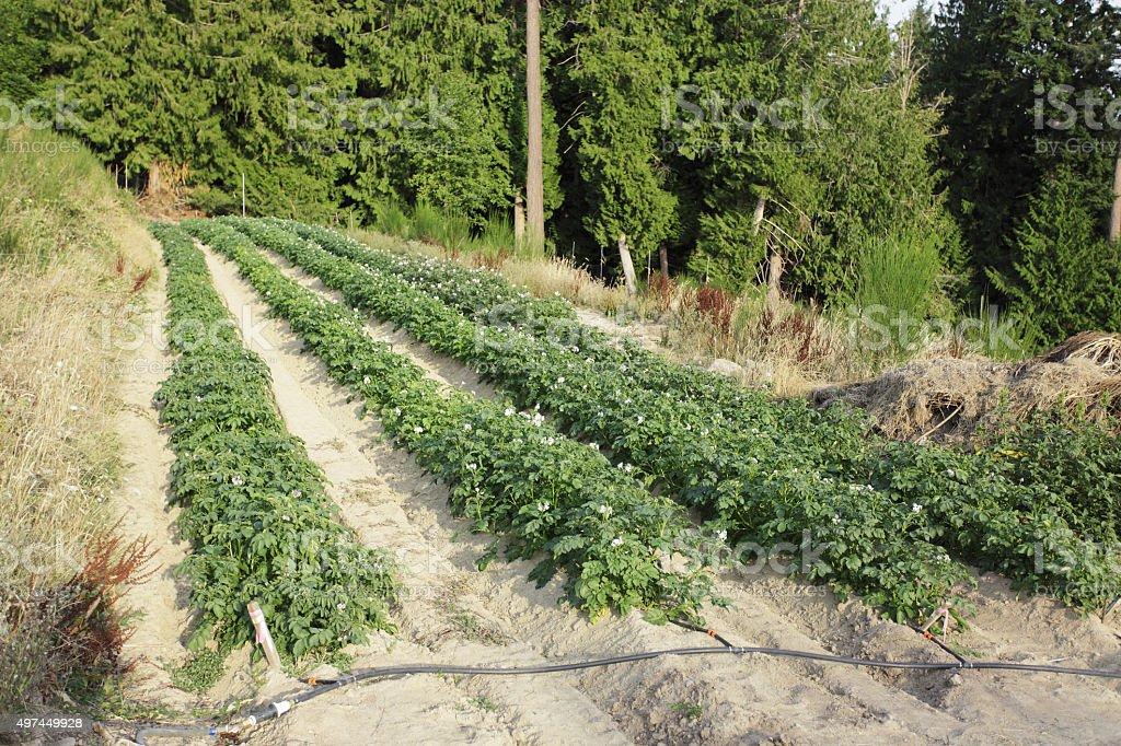 Potato Plant stock photo
