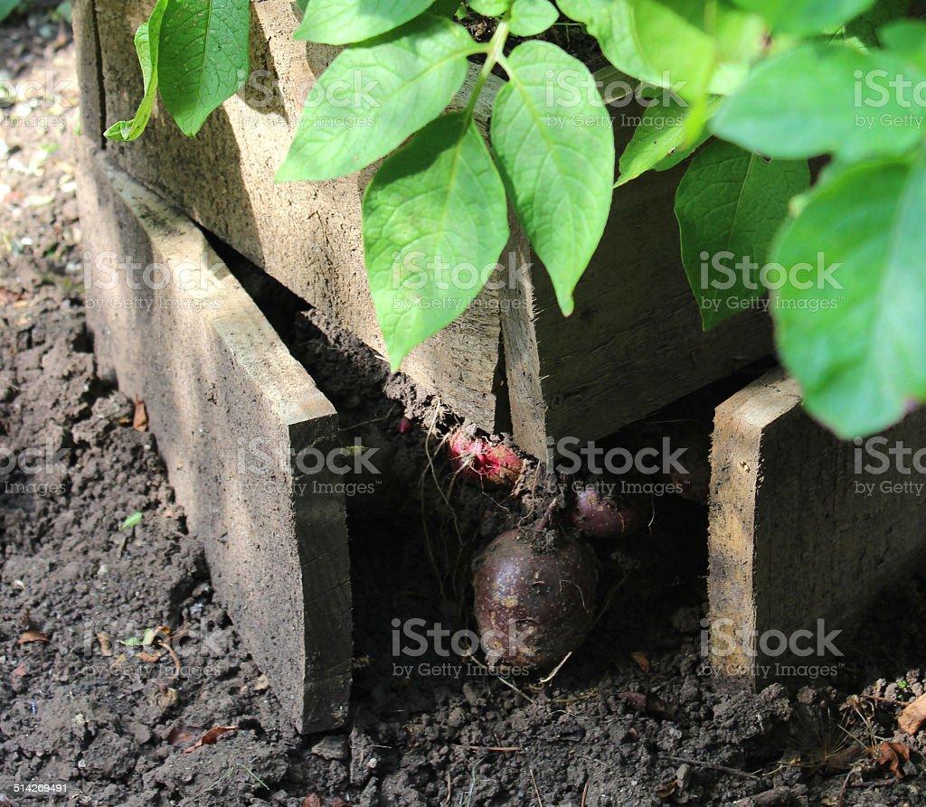 Potato plants growing in raised wooden boxes, vegetable garden image stock photo