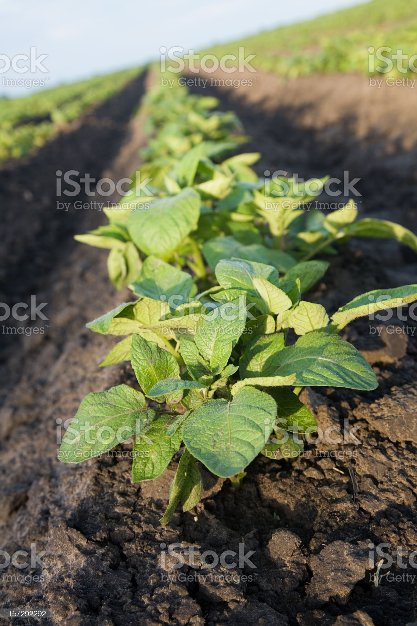 Potato Plants royalty-free stock photo