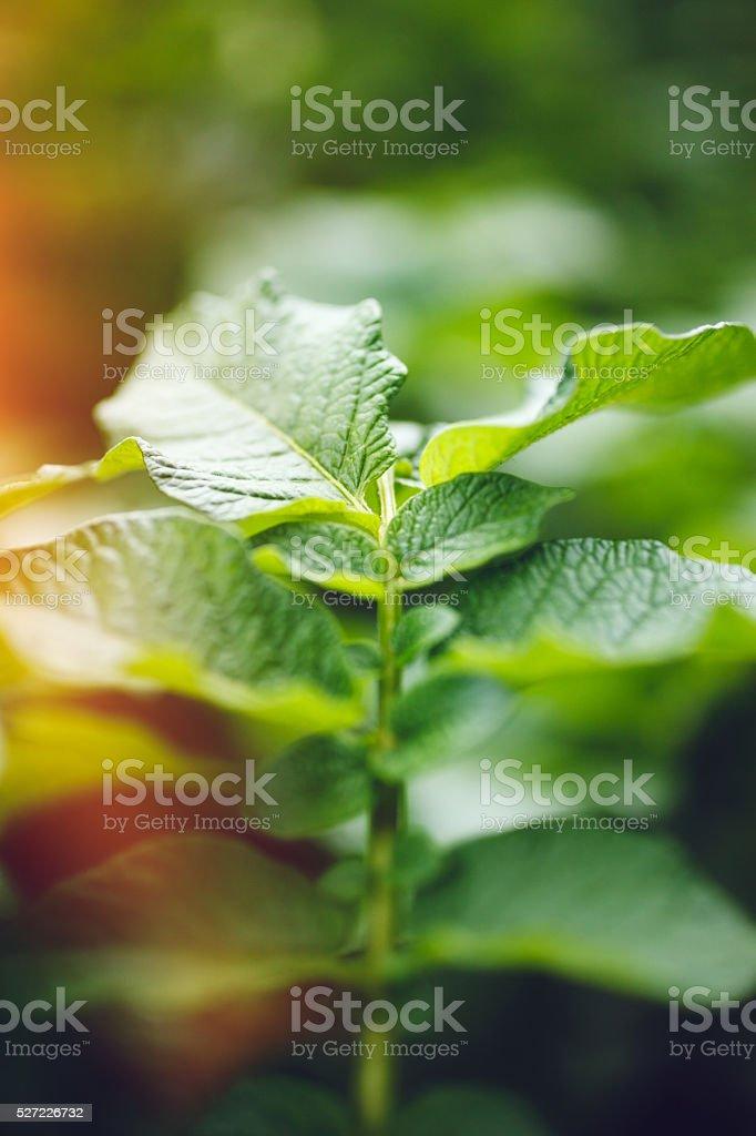 Potato Plants stock photo