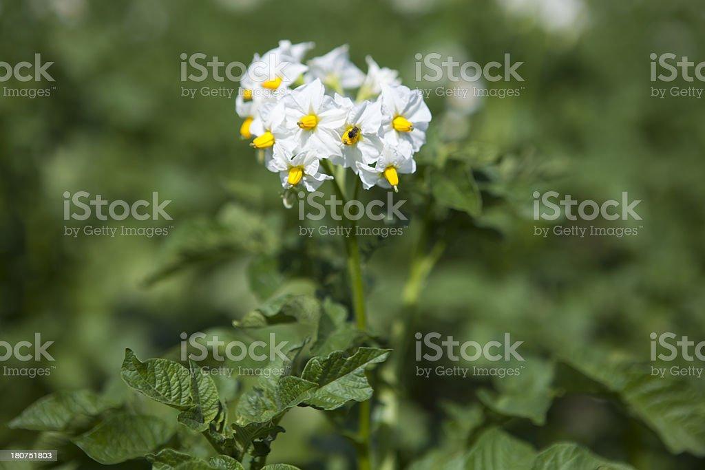 Potato Pollination royalty-free stock photo