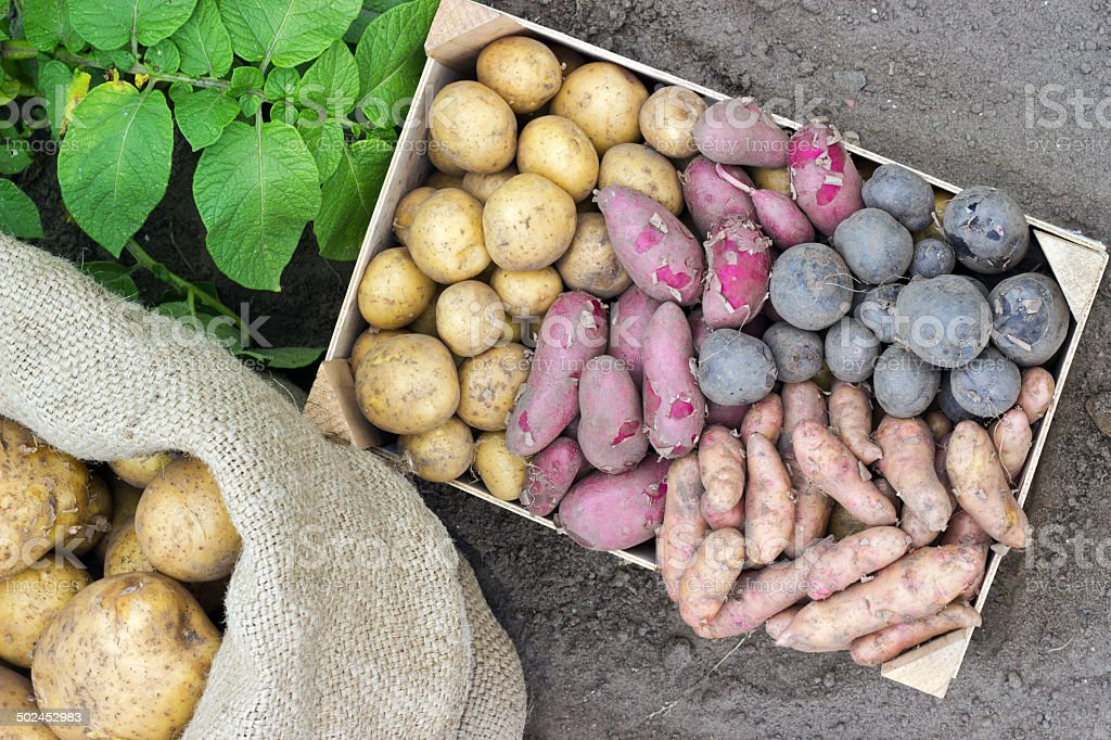 Potato varieties royalty-free stock photo