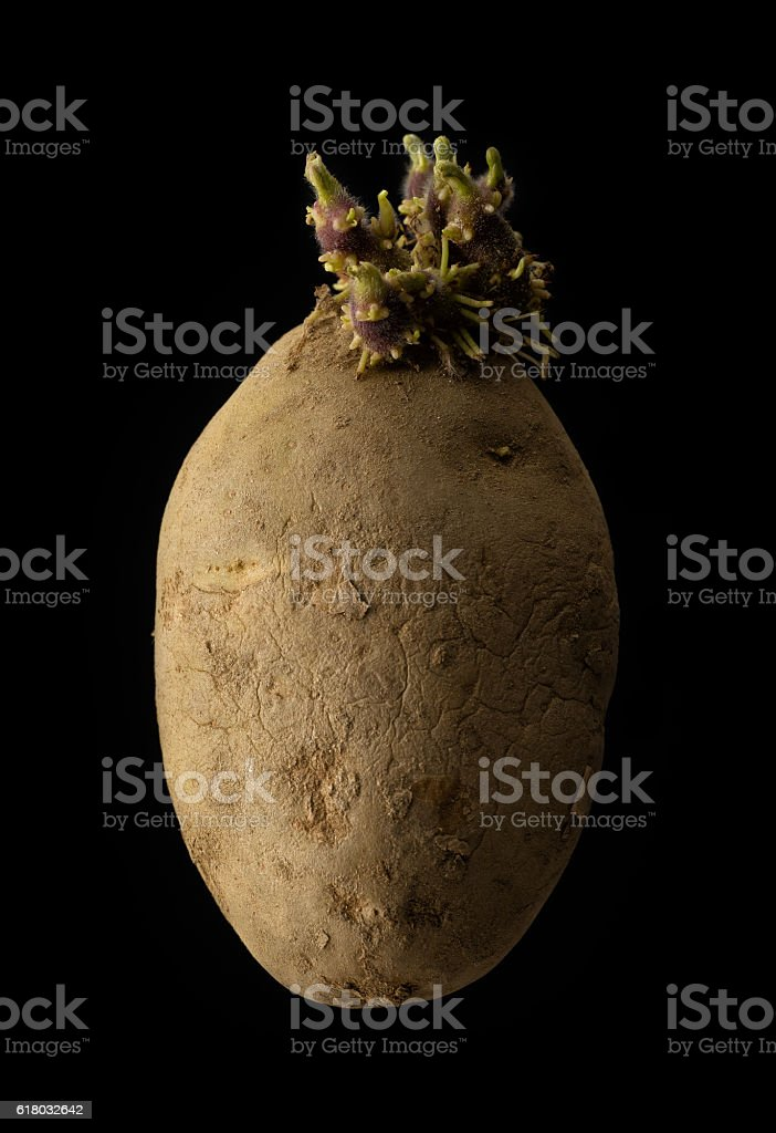 Potato with sprouts stock photo