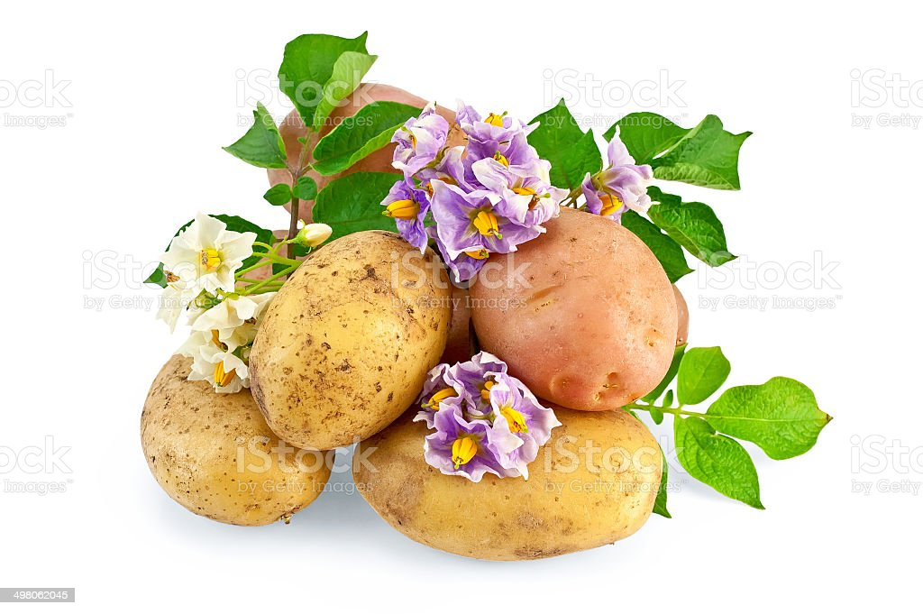 Potato yellow and pink with a flower royalty-free stock photo