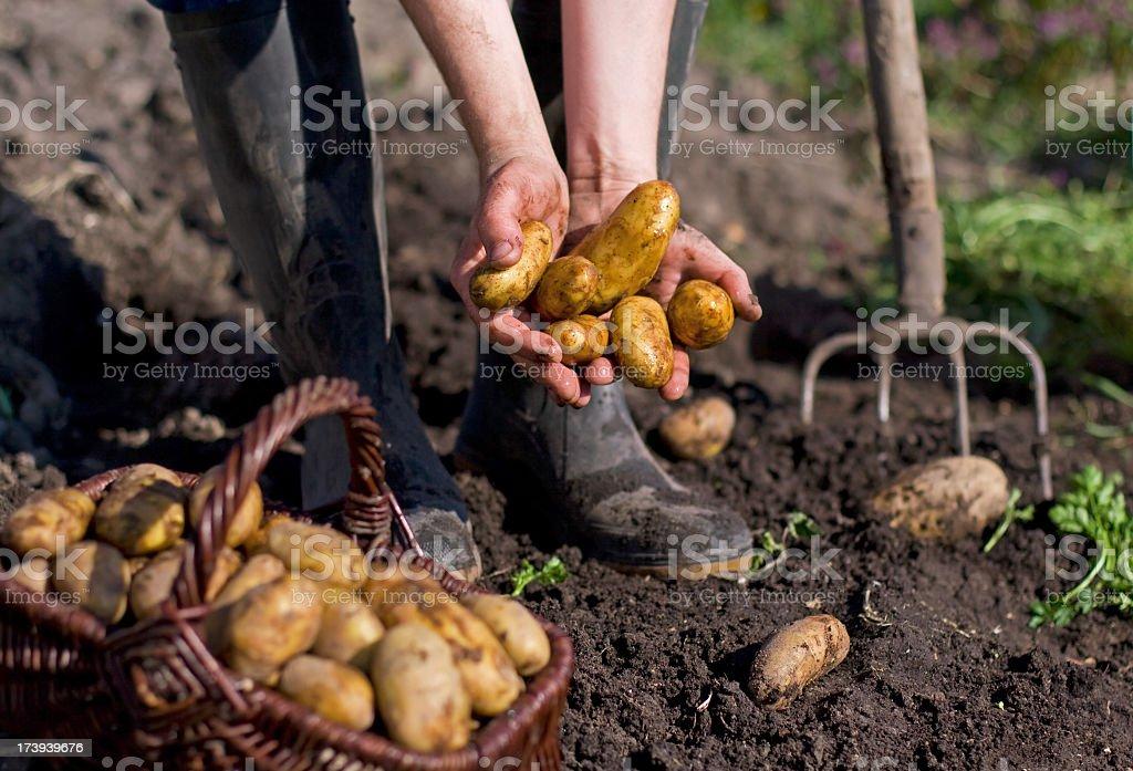 Potatoes and farmer hand stock photo