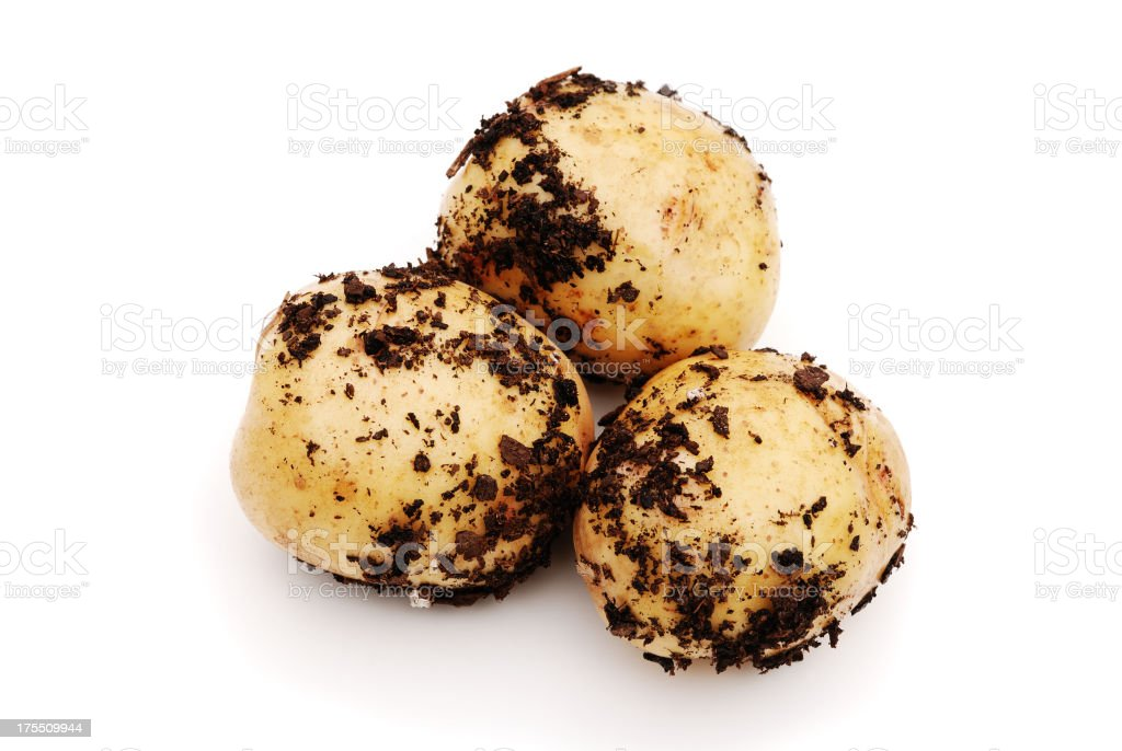 Potatoes freshly dug from dirt stock photo