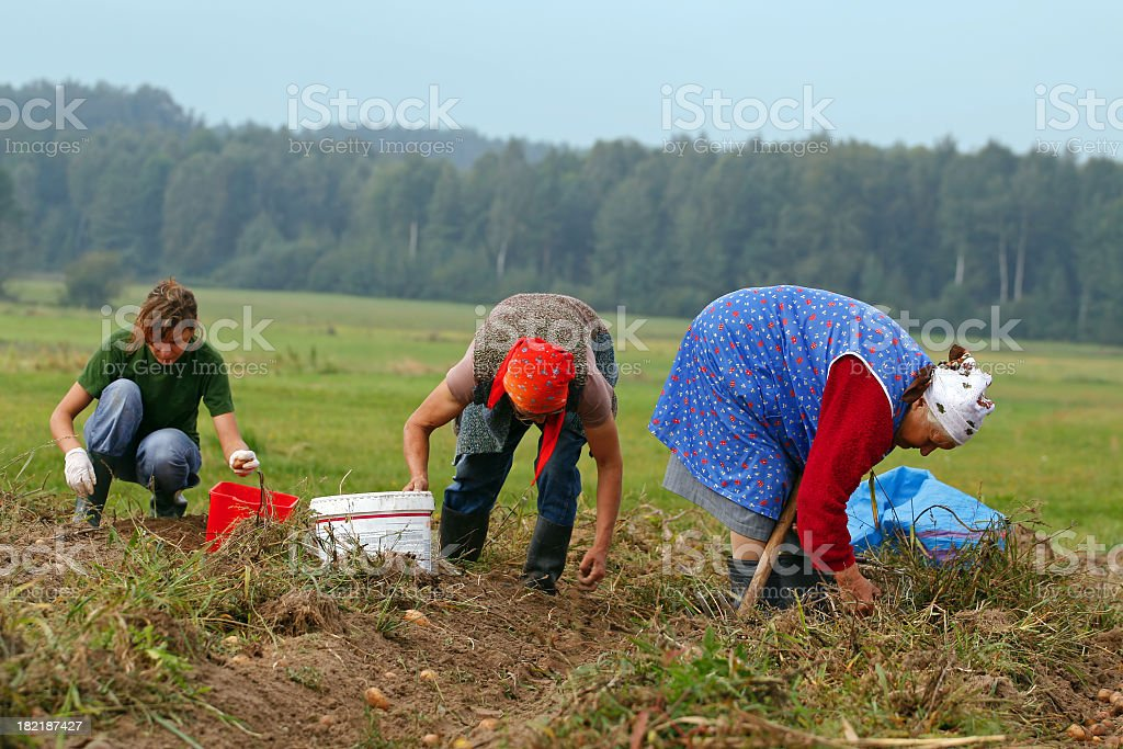 Potatoes harvest and woman stock photo