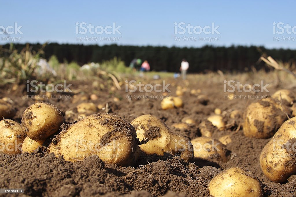Potatoes in a field stock photo