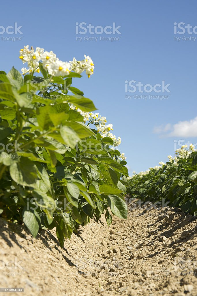 Potatoes in bloom stock photo
