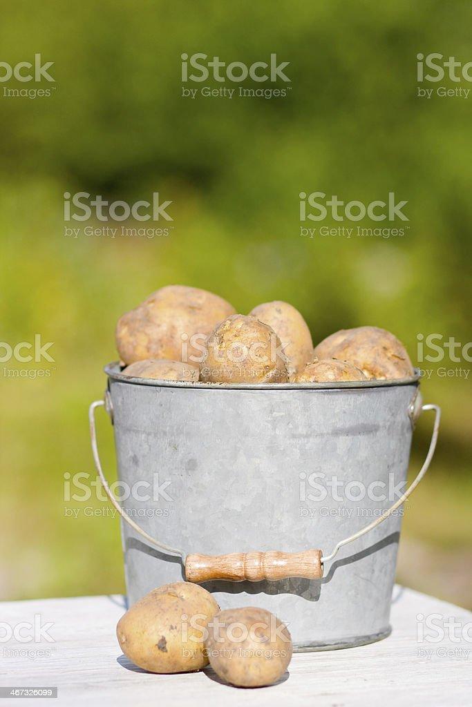Potatoes in bucket royalty-free stock photo