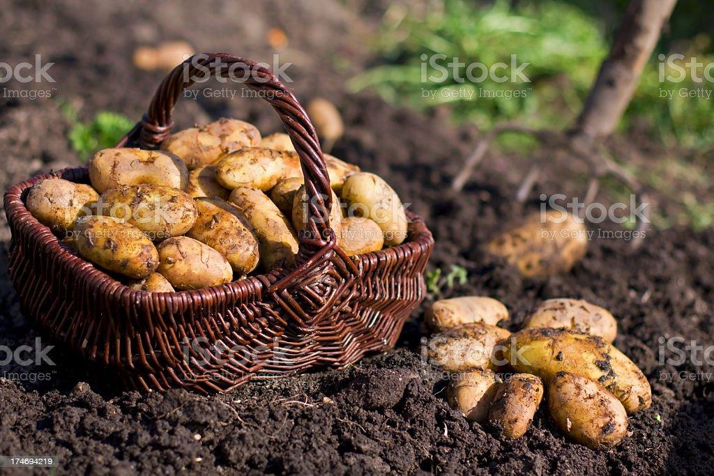 Potatoes in field stock photo