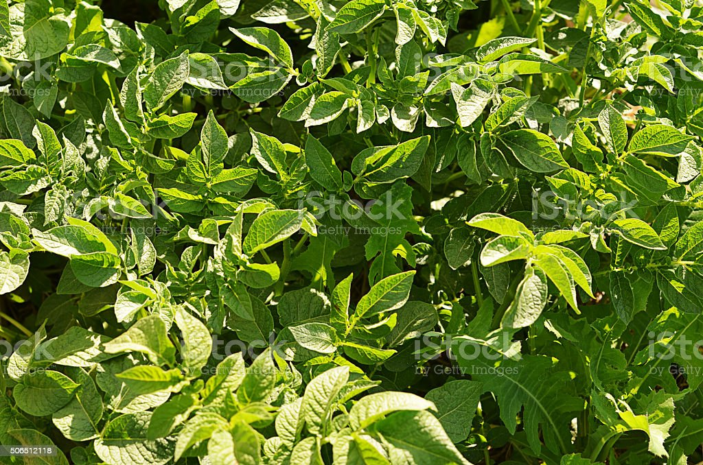 Potatoes leaves as background stock photo