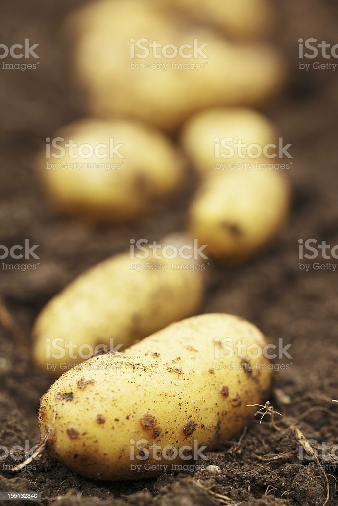 Potatoes on top of dirt pulled from the land stock photo