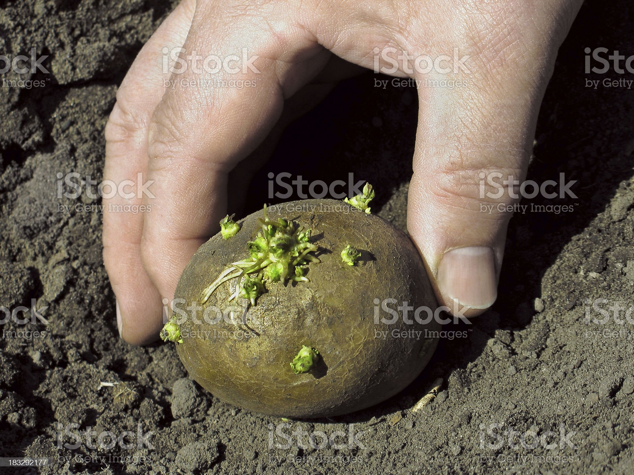 Potatoes Planting 3 royalty-free stock photo