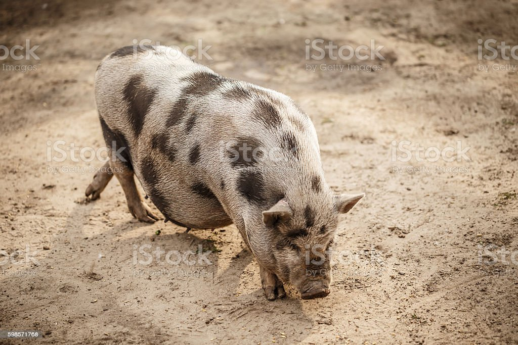 Pot-bellied pig stock photo