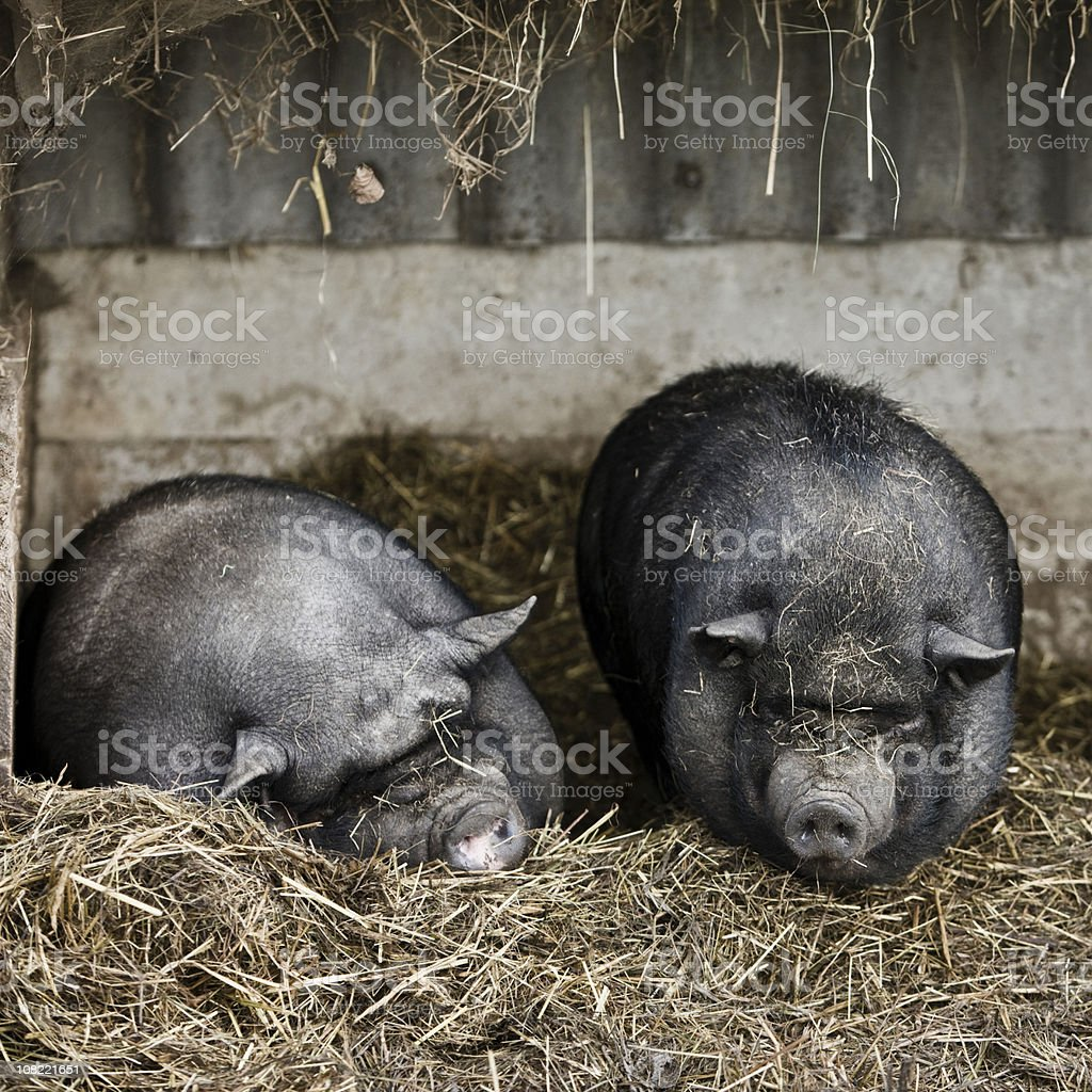 Pot-Bellied Pigs stock photo