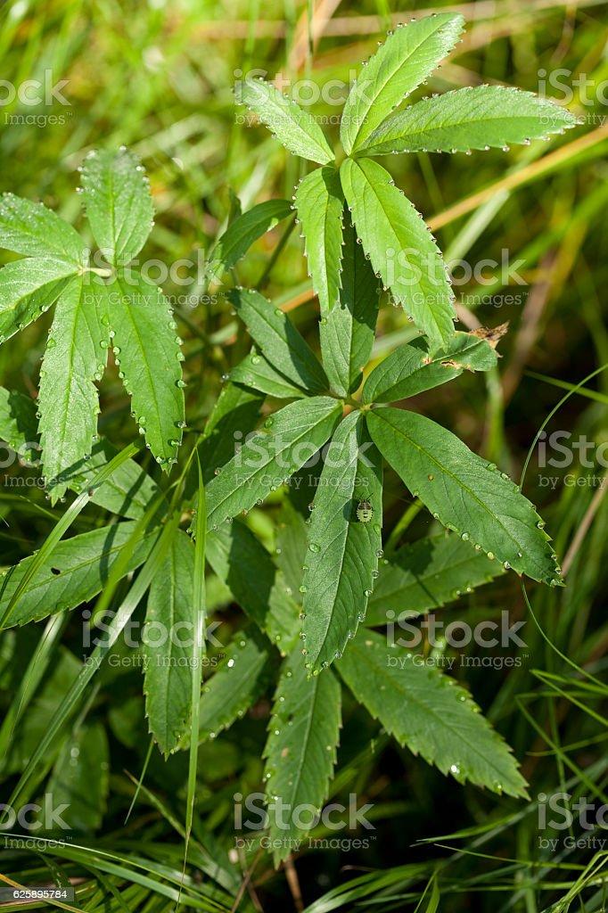 Potentilla palustris stock photo