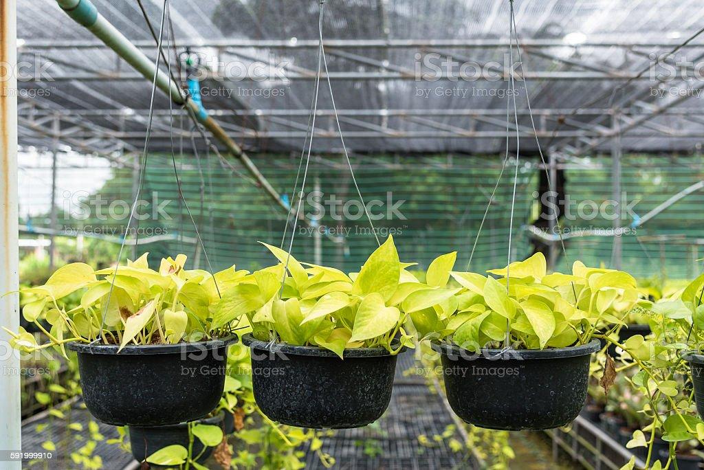 Pothos (Scindapsus aureus Eagler) in pot. stock photo