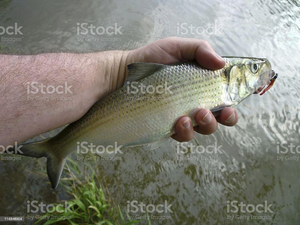 Potomac River Hickory Shad stock photo