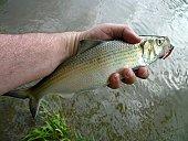 Potomac River Hickory Shad