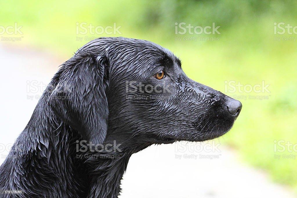 Potrait of a young Labrador Retriever royalty-free stock photo