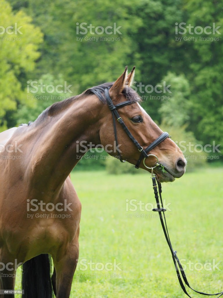 Potrait of beautiful horse with bridle in nature stock photo