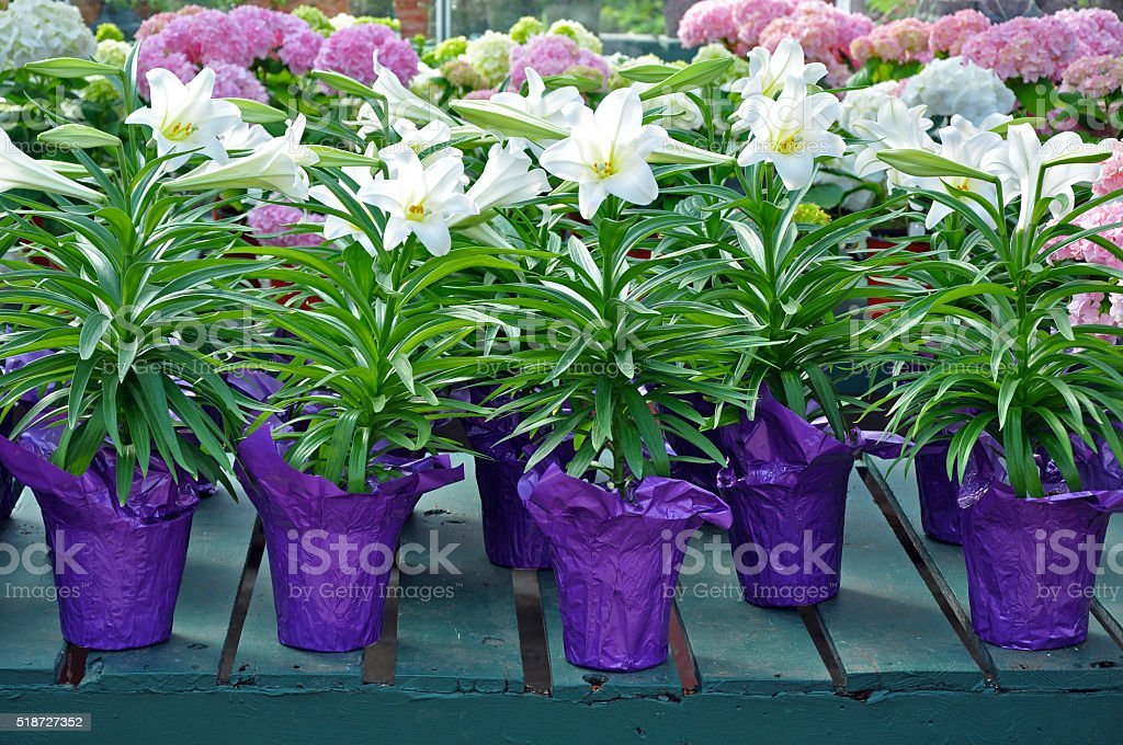 Pots of white easter lilies stock photo