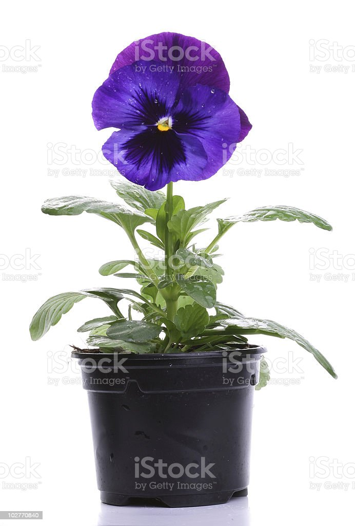 pots with blue purple pansy royalty-free stock photo