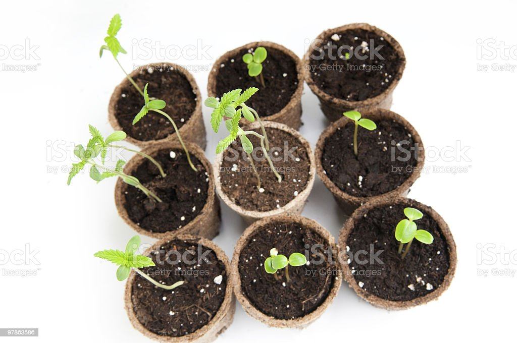 pots with seedlings royalty-free stock photo