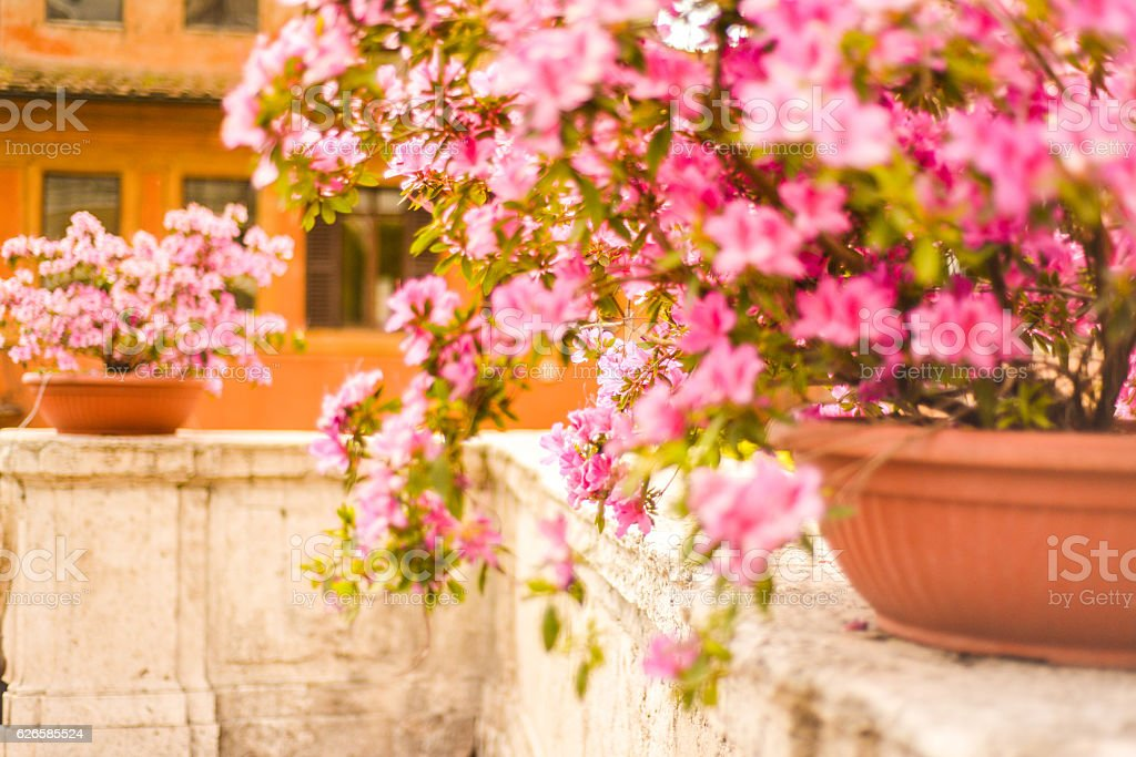 Potted azalea bushes on Spanish Steps in Rome, Italy stock photo