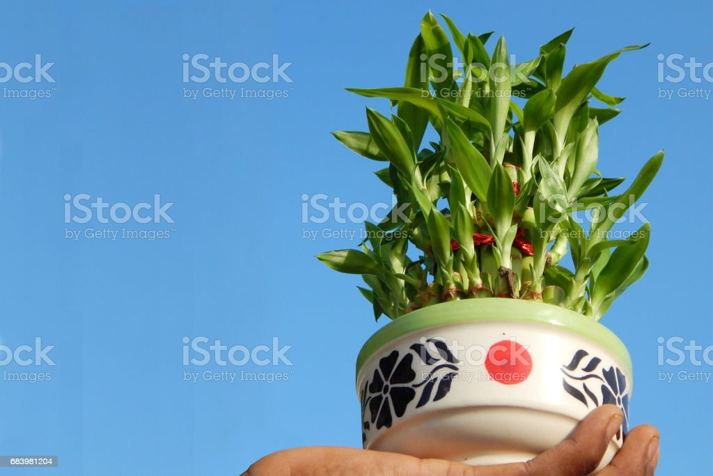 potted bamboo plant stock photo