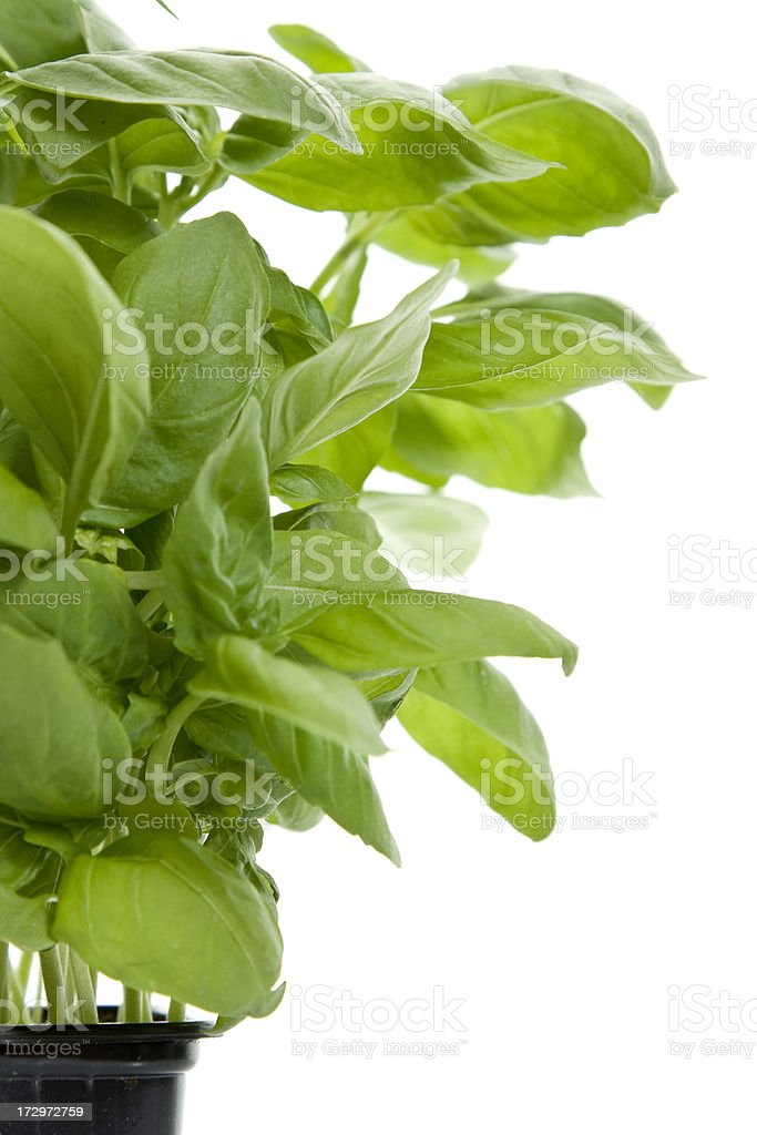 Potted basil isolated on white royalty-free stock photo