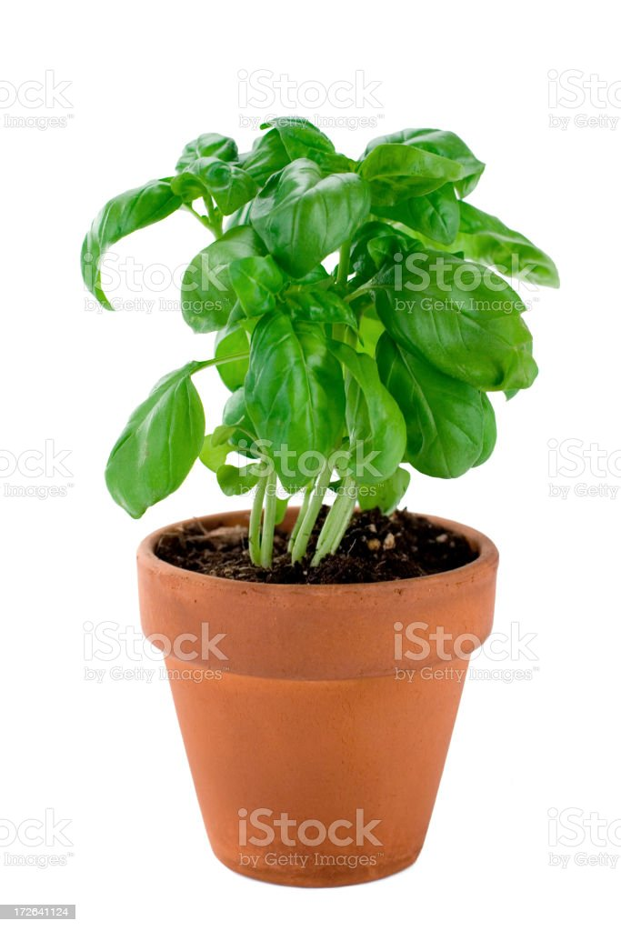 A potted basil plant ready for picking and cooking with stock photo