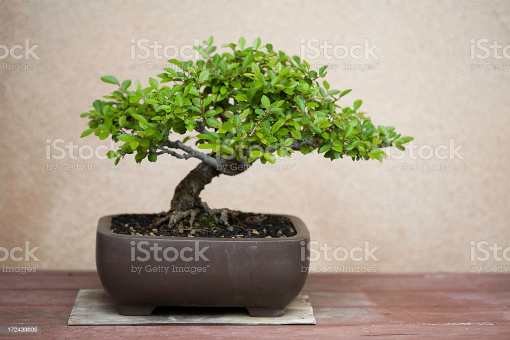 A potted bonsai tree on a wooden table stock photo